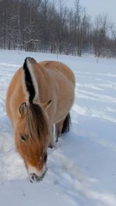 Fjordpferd im Schnee   Foto: Paul Houle